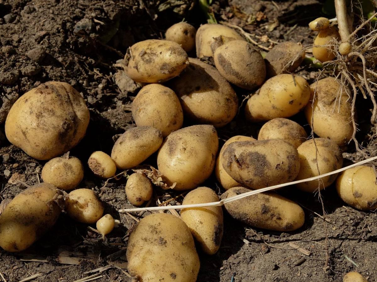 Frisch geerntete Kartoffeln auf dem Beet