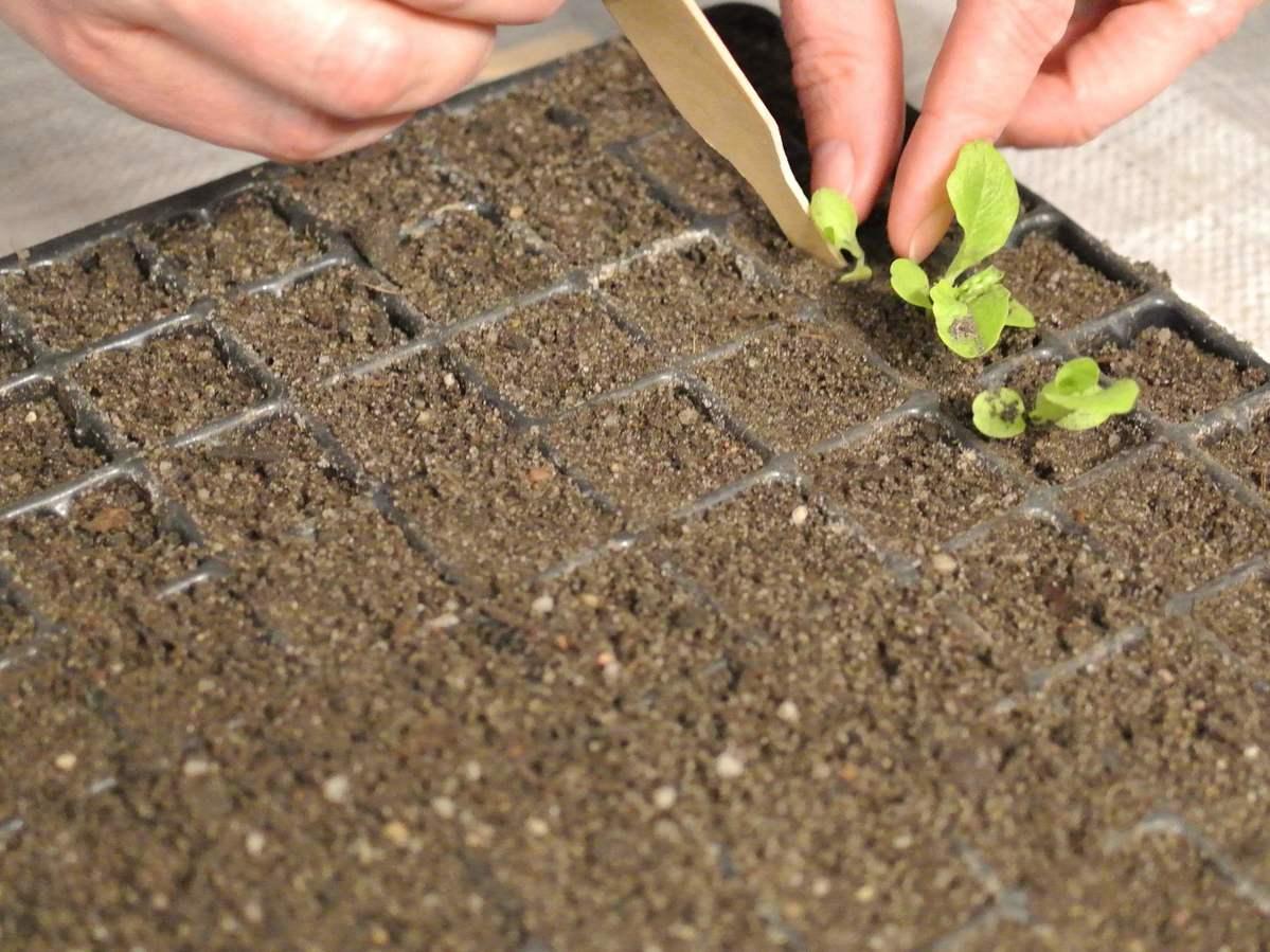 Pikieren von Jungpflanzen (Sämlingen) in einer Aussaat-Schale