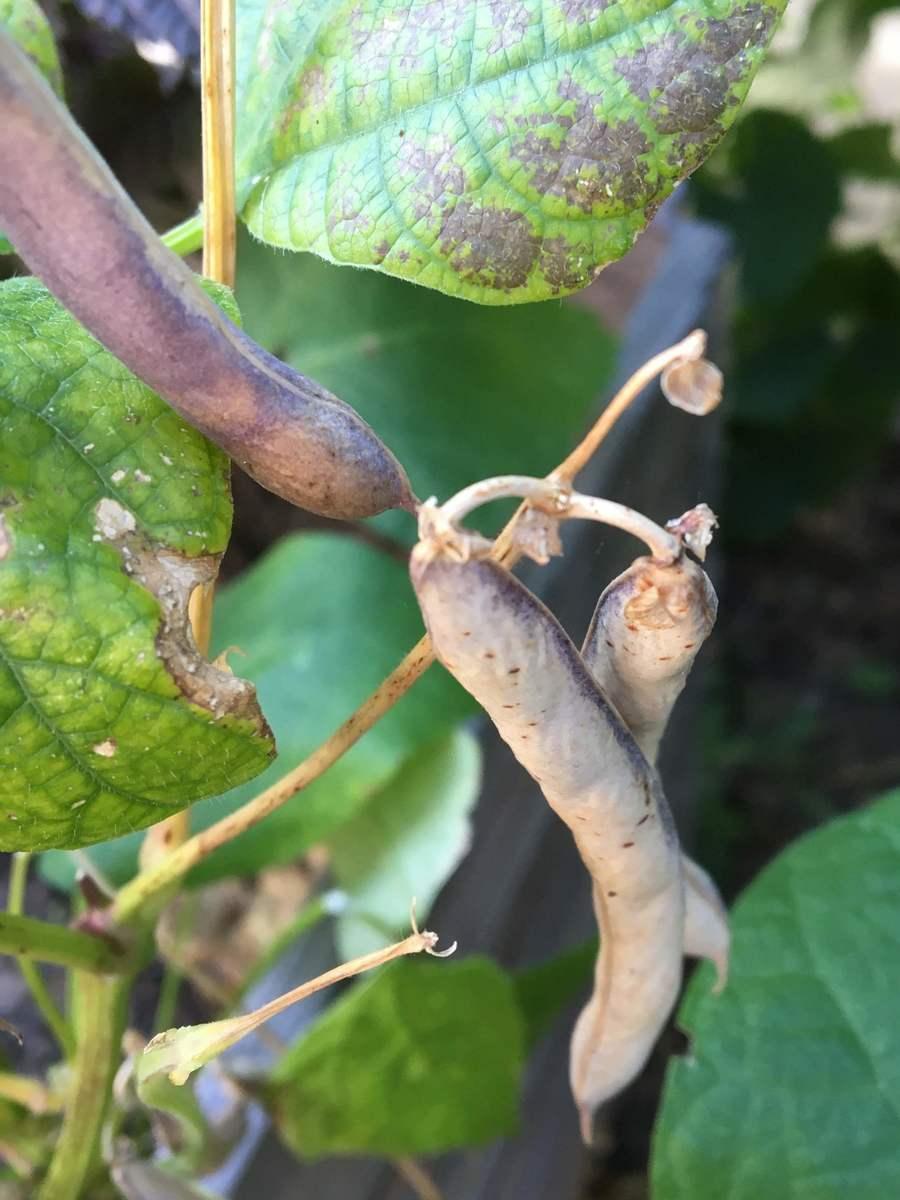 erntereife 'Black Turtle' mit gelben Fruchtständen