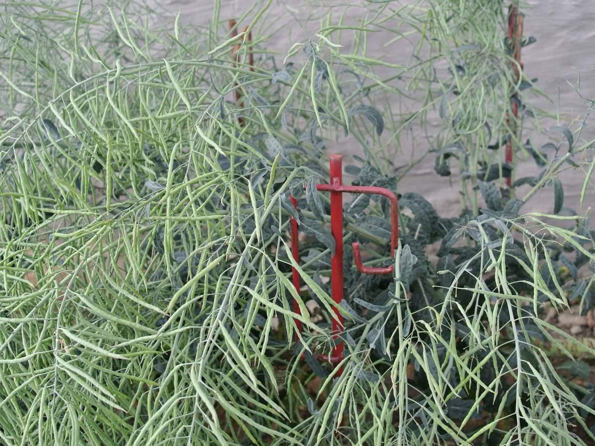 fruchtender Palmkohl