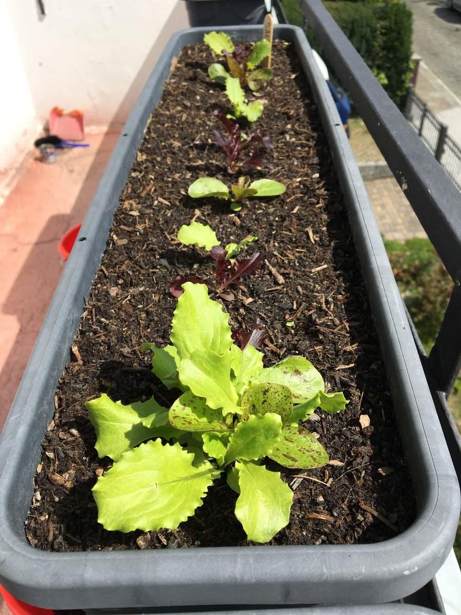 junge Salatpflanzen auf dem Balkon