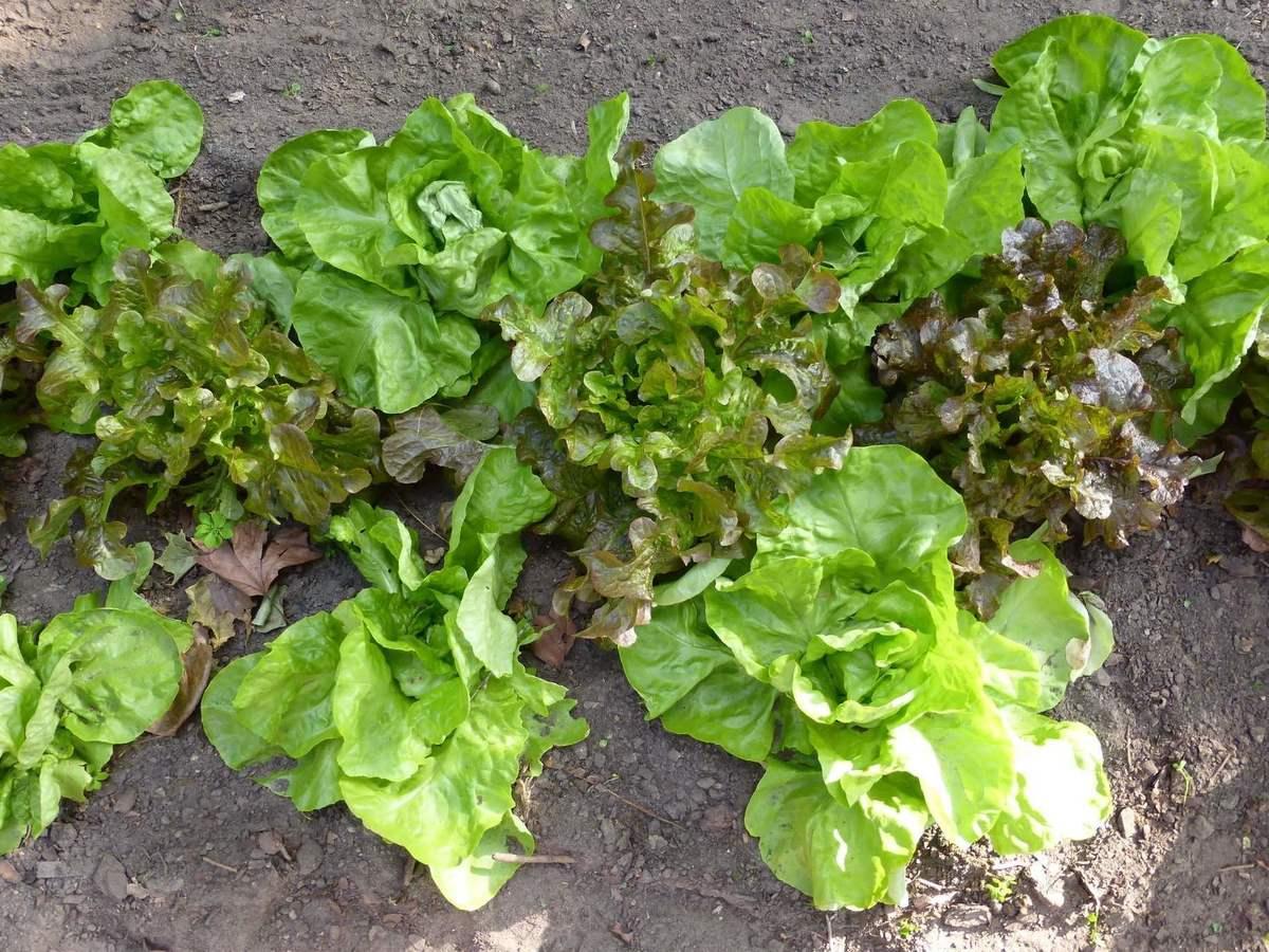 Salat-Vielfalt im Beet