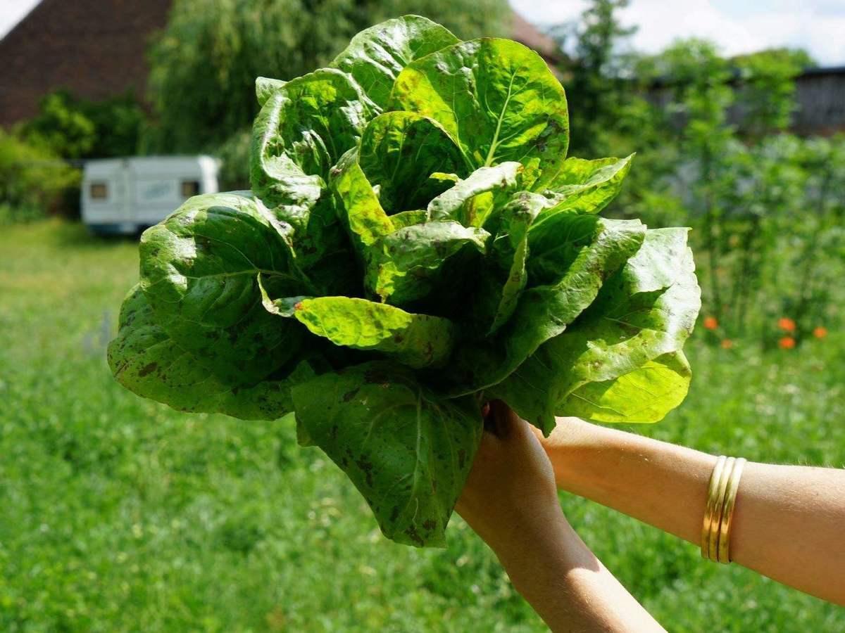 geerntete Salatblätter (hier die Sorte 'Forellenschluß')
