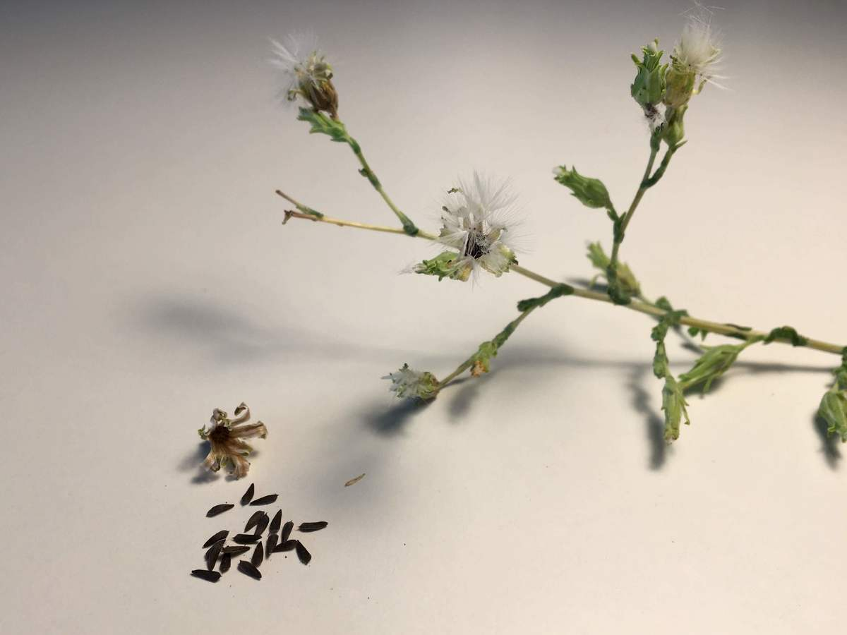 abgezupftes Körbchen mit Saatguternte