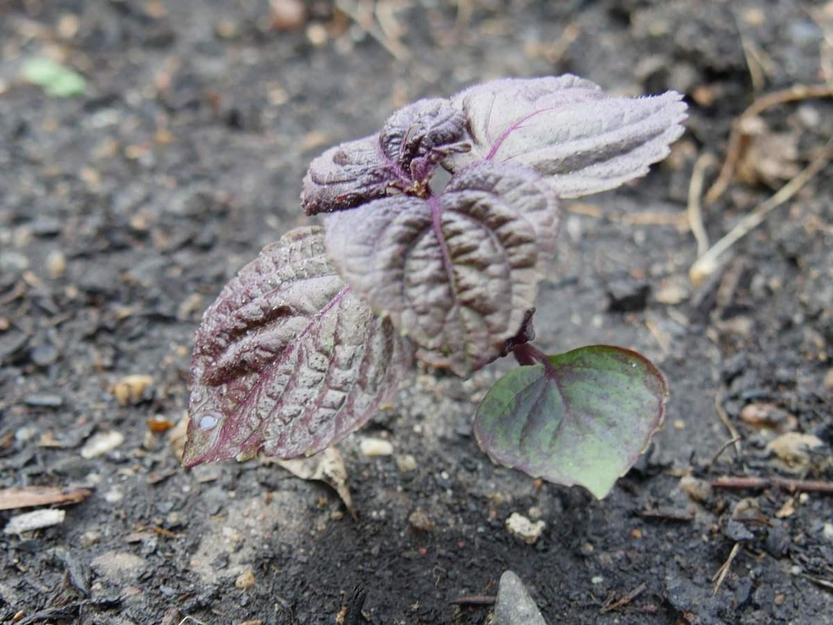 aufgehende Jungpflanze