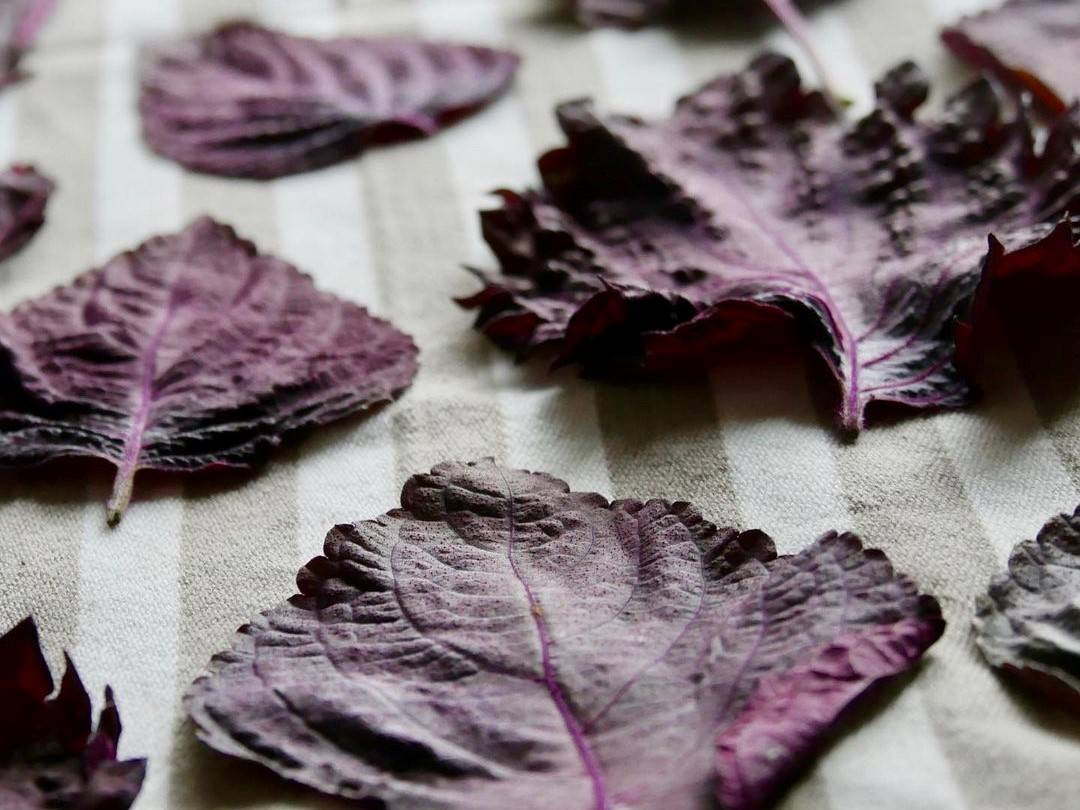 Shiso-Blätter zum Trocknen