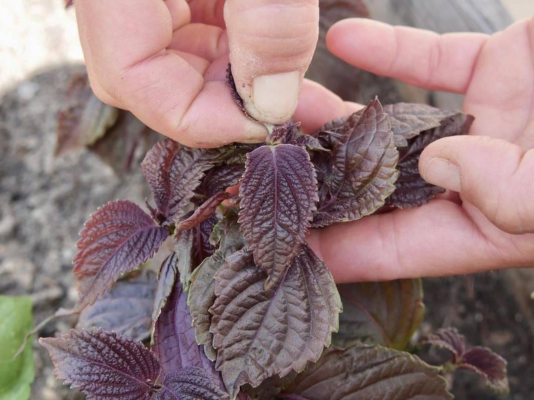 Ernte der Shiso-Blätter