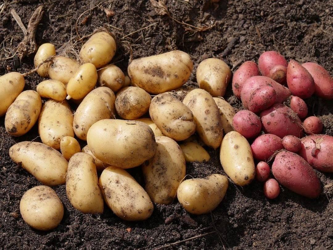 geerntete Kartoffeln-Knollen im Beet