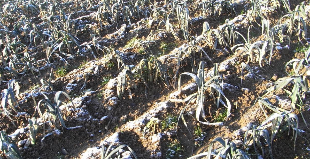 In strengen Wintern mit Kahlfrösten leiden sogar relativ unempfindliche Gemüse wie beispielsweise Porree.