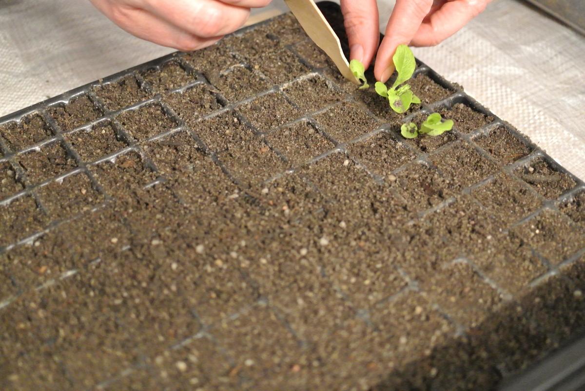 Pikieren von Jungpflanzen in einer Pikierschale