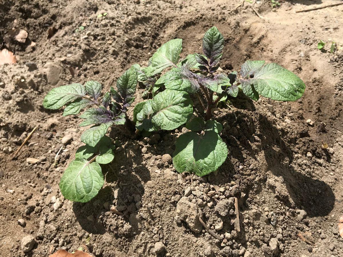 Kartoffel in angehäufeltem Erdhaufen