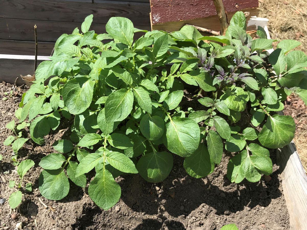 Kartoffeln (diverse Sorten) 35 Tage nach Pflanzung