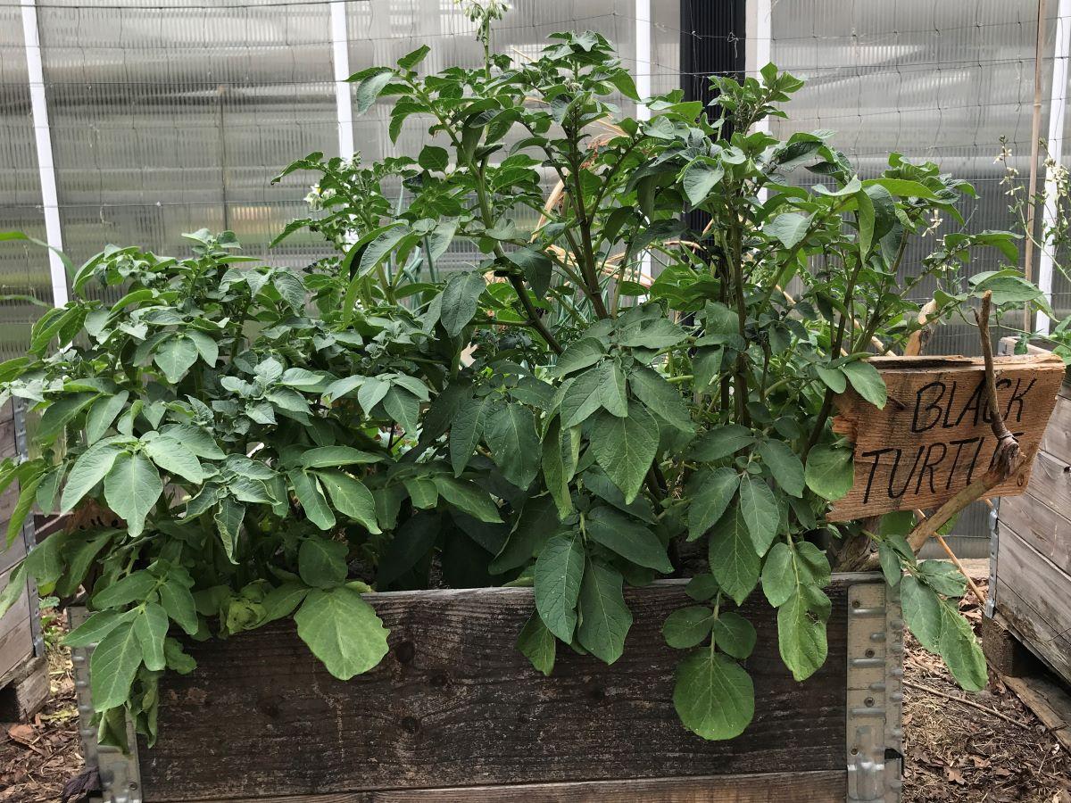 Kartoffeln im Hochbeet (55 Tage nach Pflanzung)