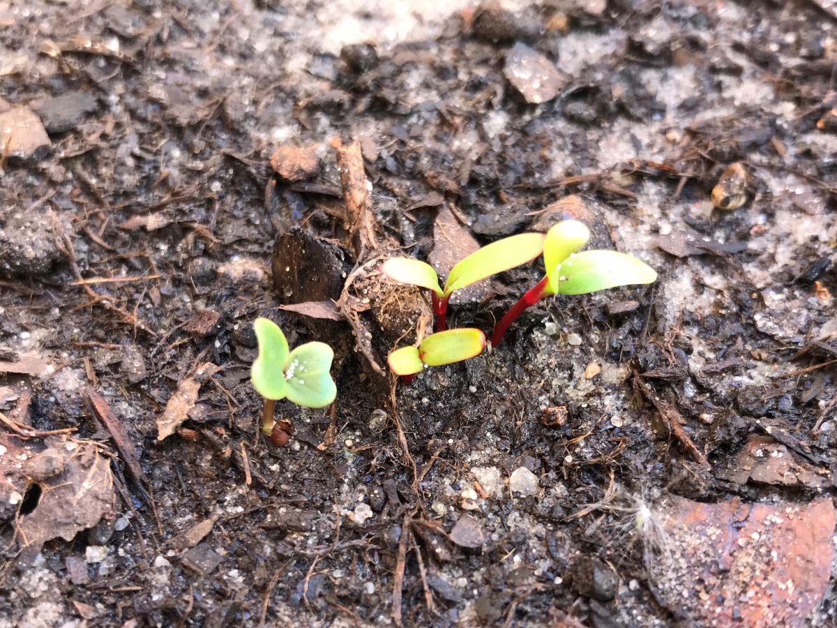 Mangold-Keimlinge verschiedenfarbig 2 Wochen nach Aussaat