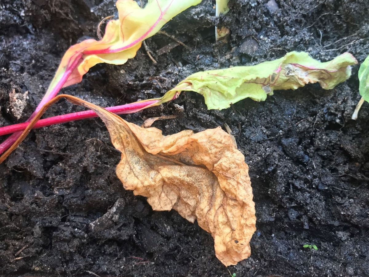Mangold regelmäßig putzen, um Verrottung zu vermeiden