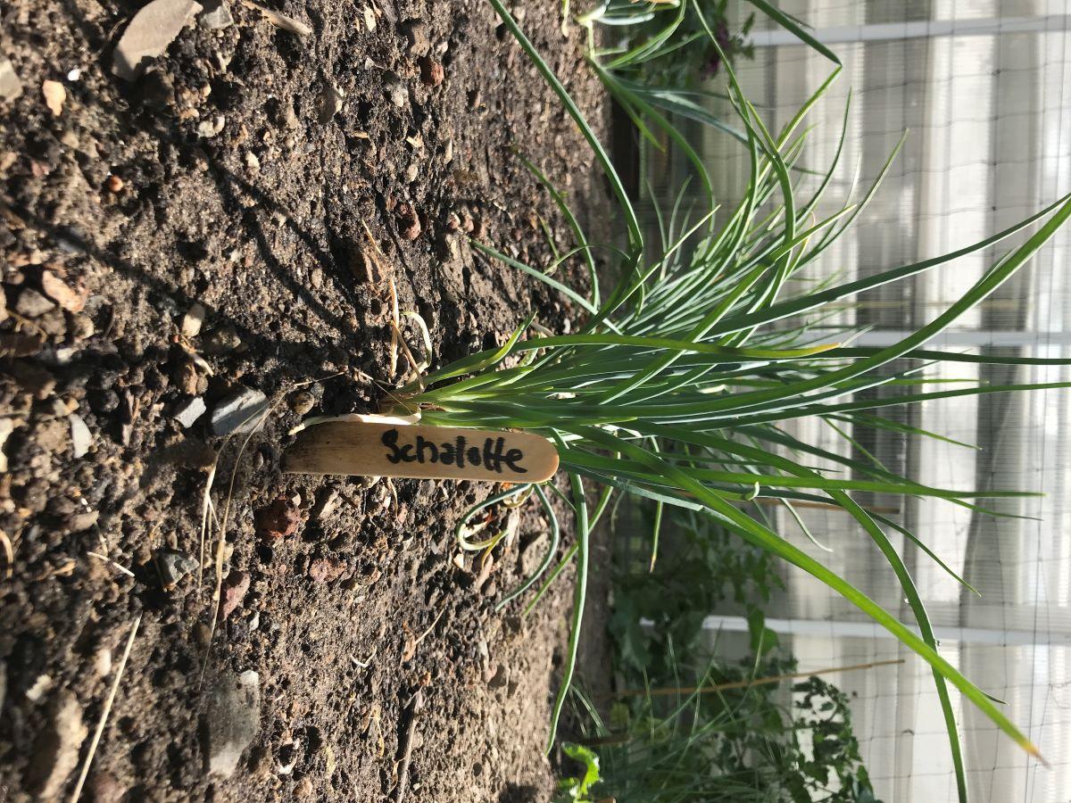 Schalotten-Reihe im Beet (7 Wochen nach Pflanzung)