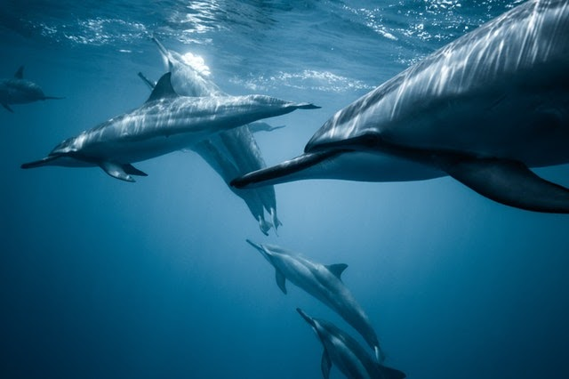 image of dolphins