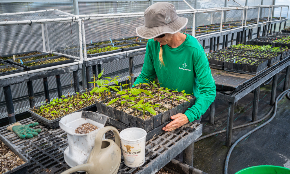 A woman in a green shirt is standing at an equipment table inside a greenhouse and lifting a tray of small seedlings.