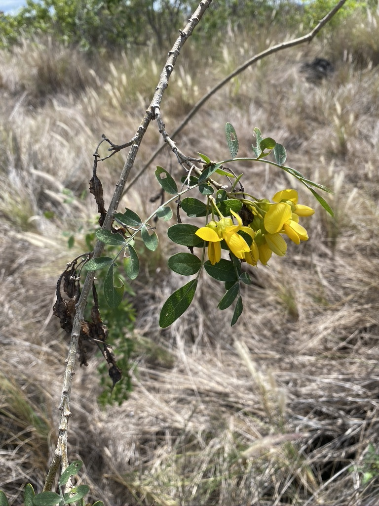 mamane flower from jill