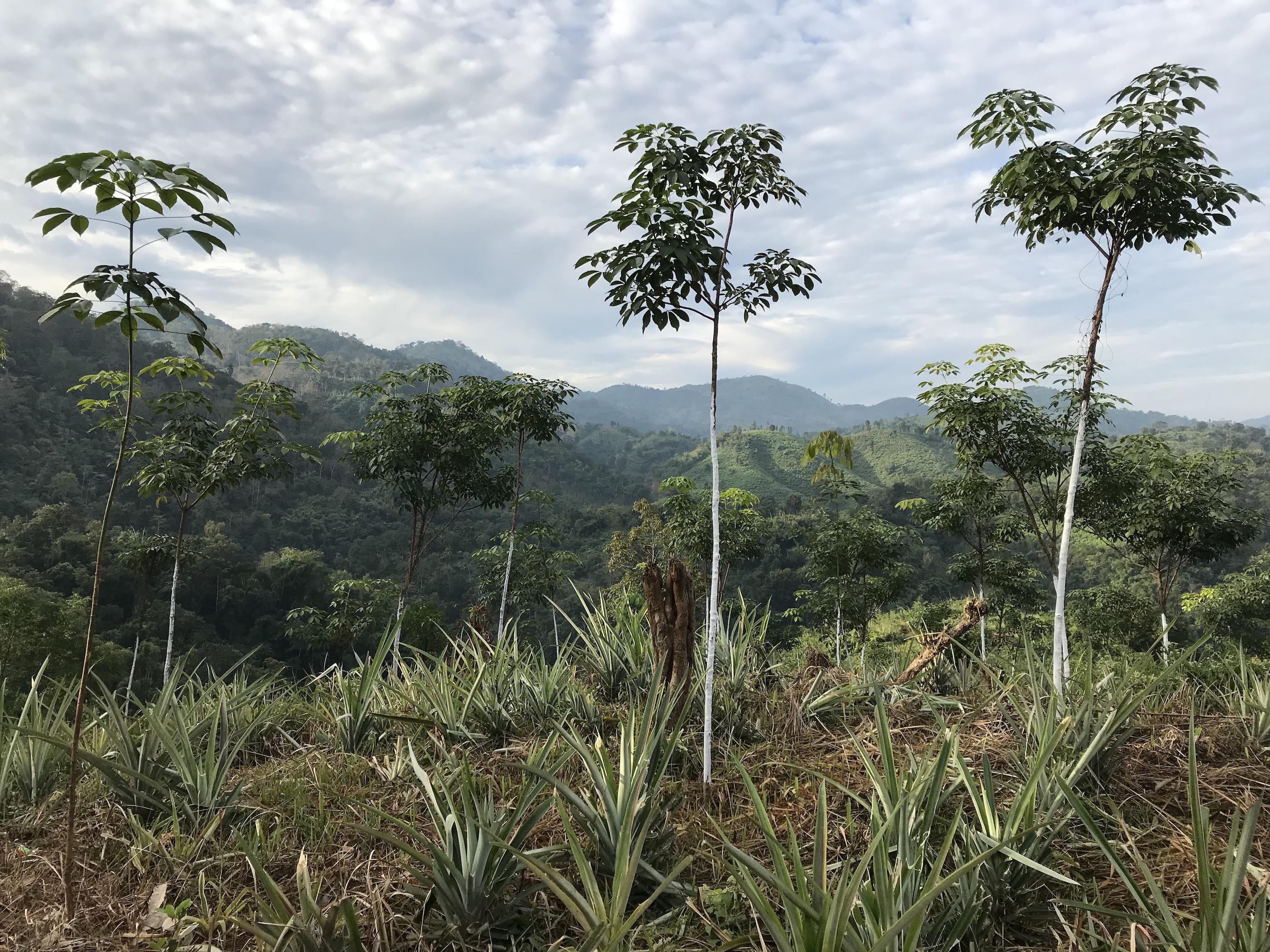 Trees in Meghalaya, India