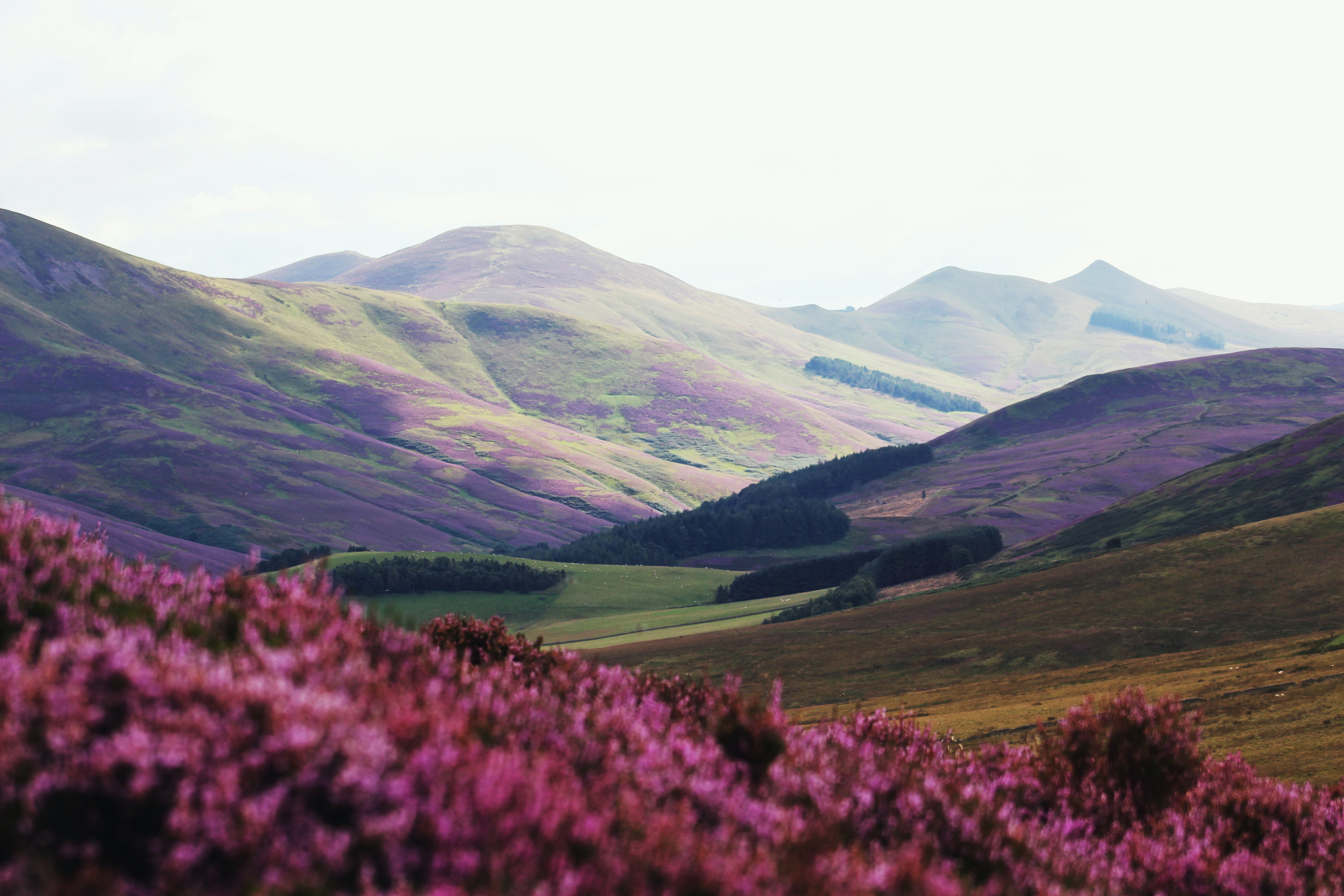 Purple heather in front of a view of the Pentland hills