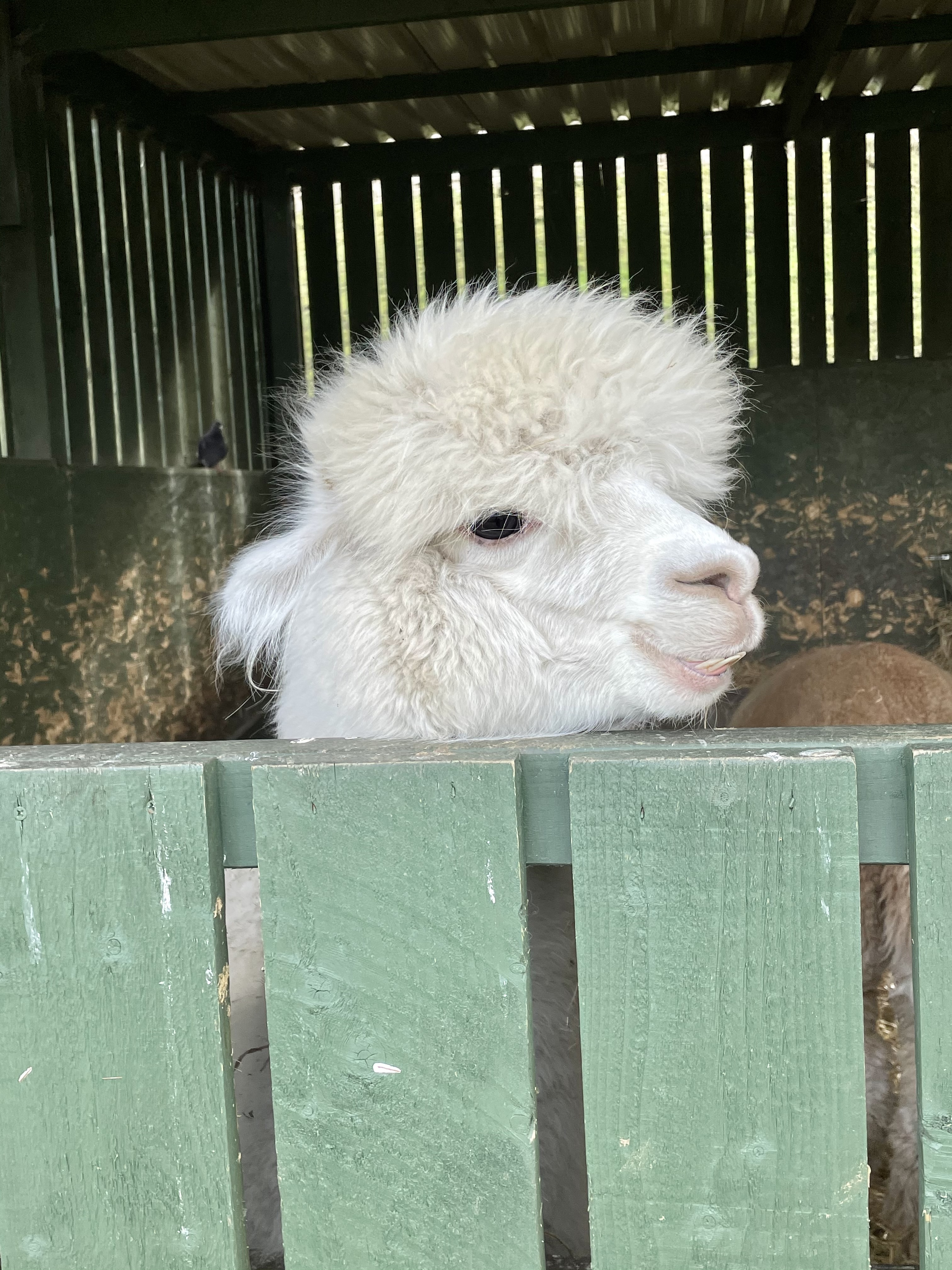 alpaca-looking-pretty-cute