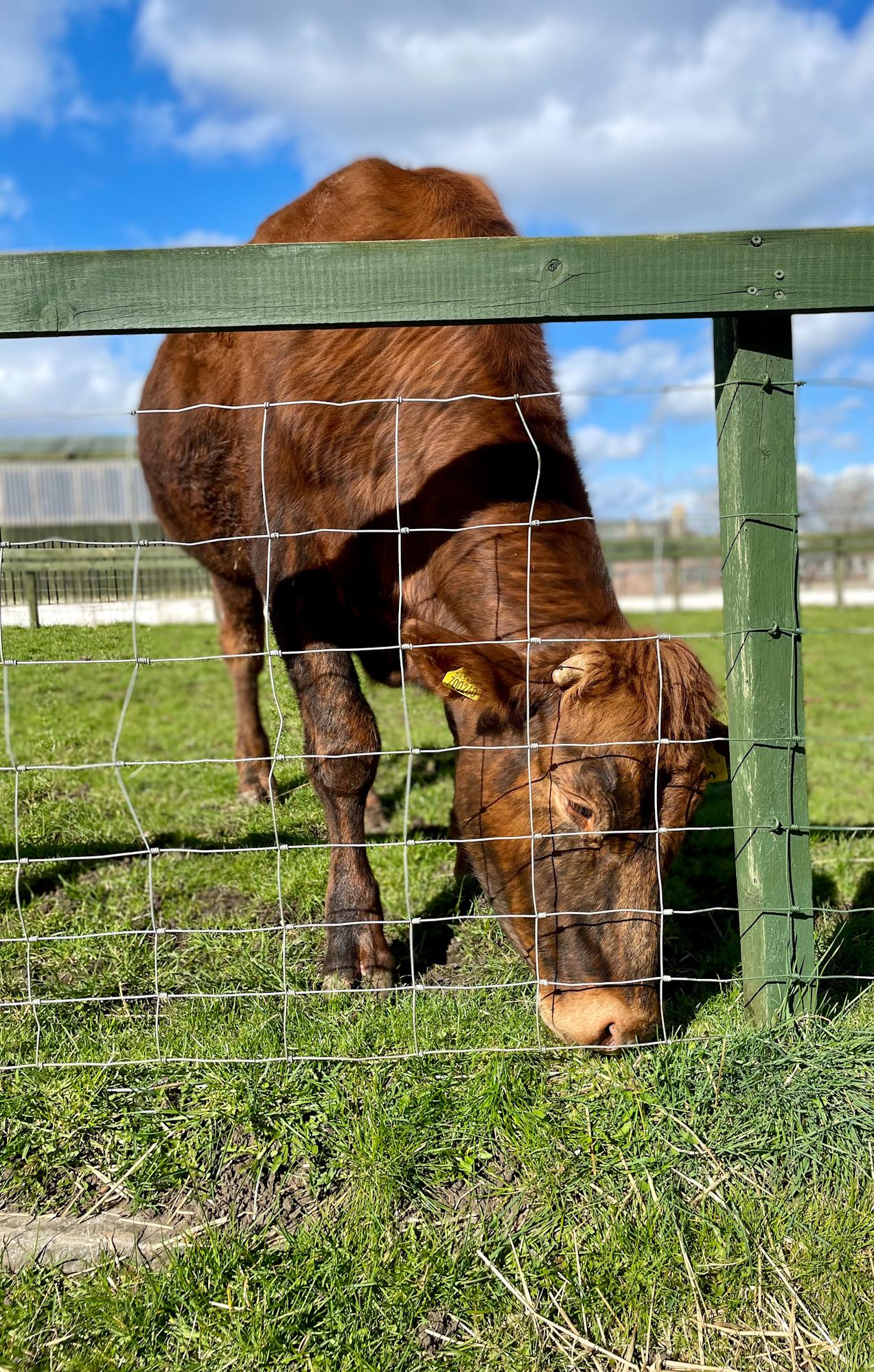 a-cow-at-the-farm