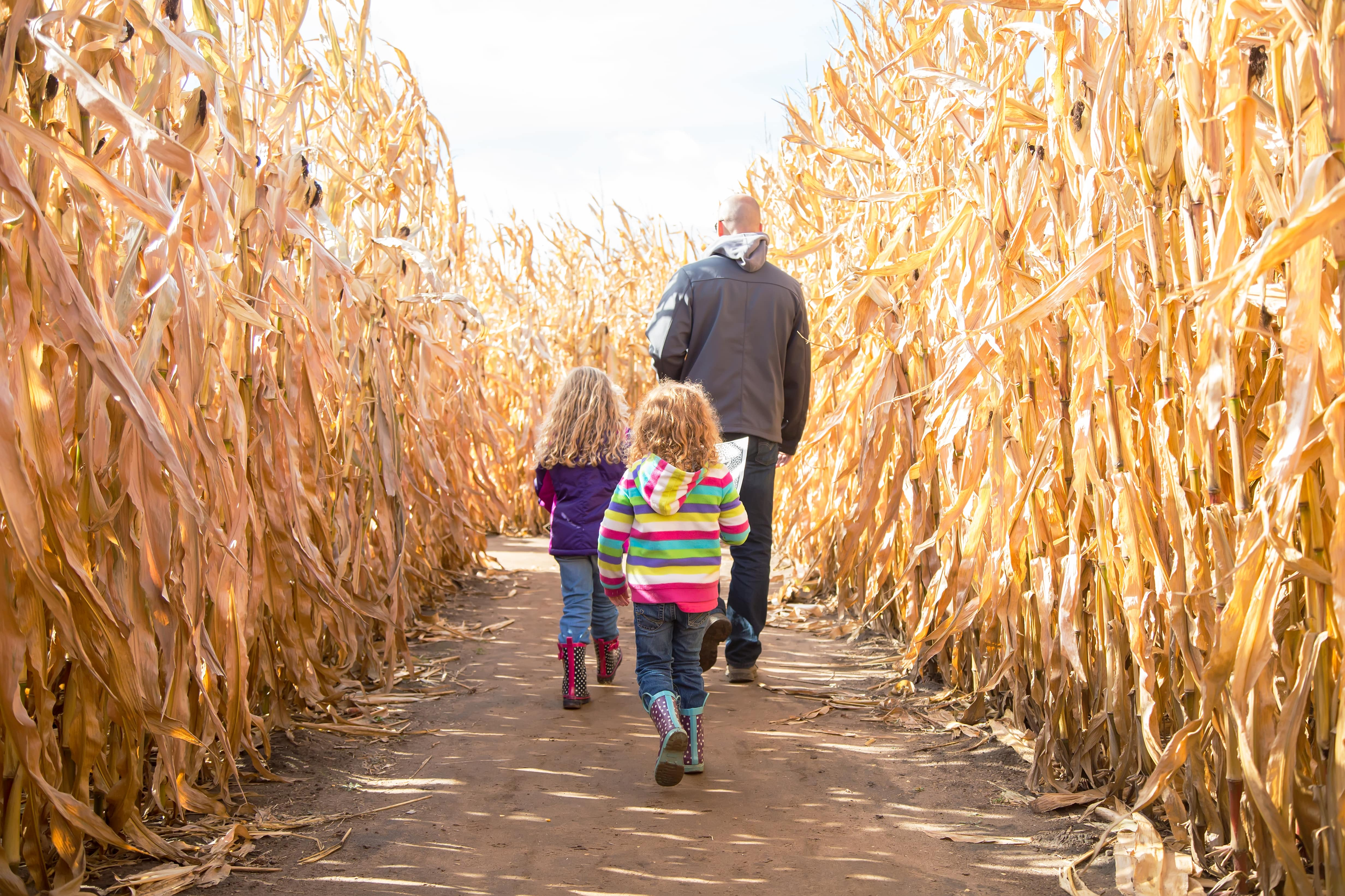 Family walking through corn maze