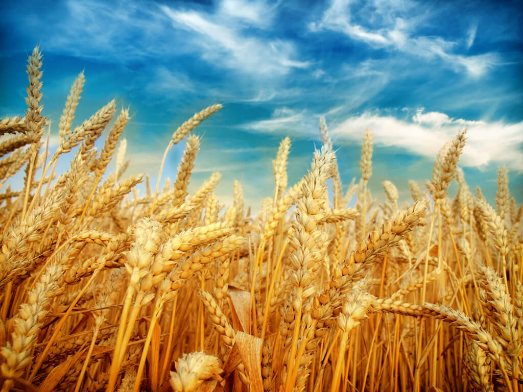 Preparing Wheat for Milling