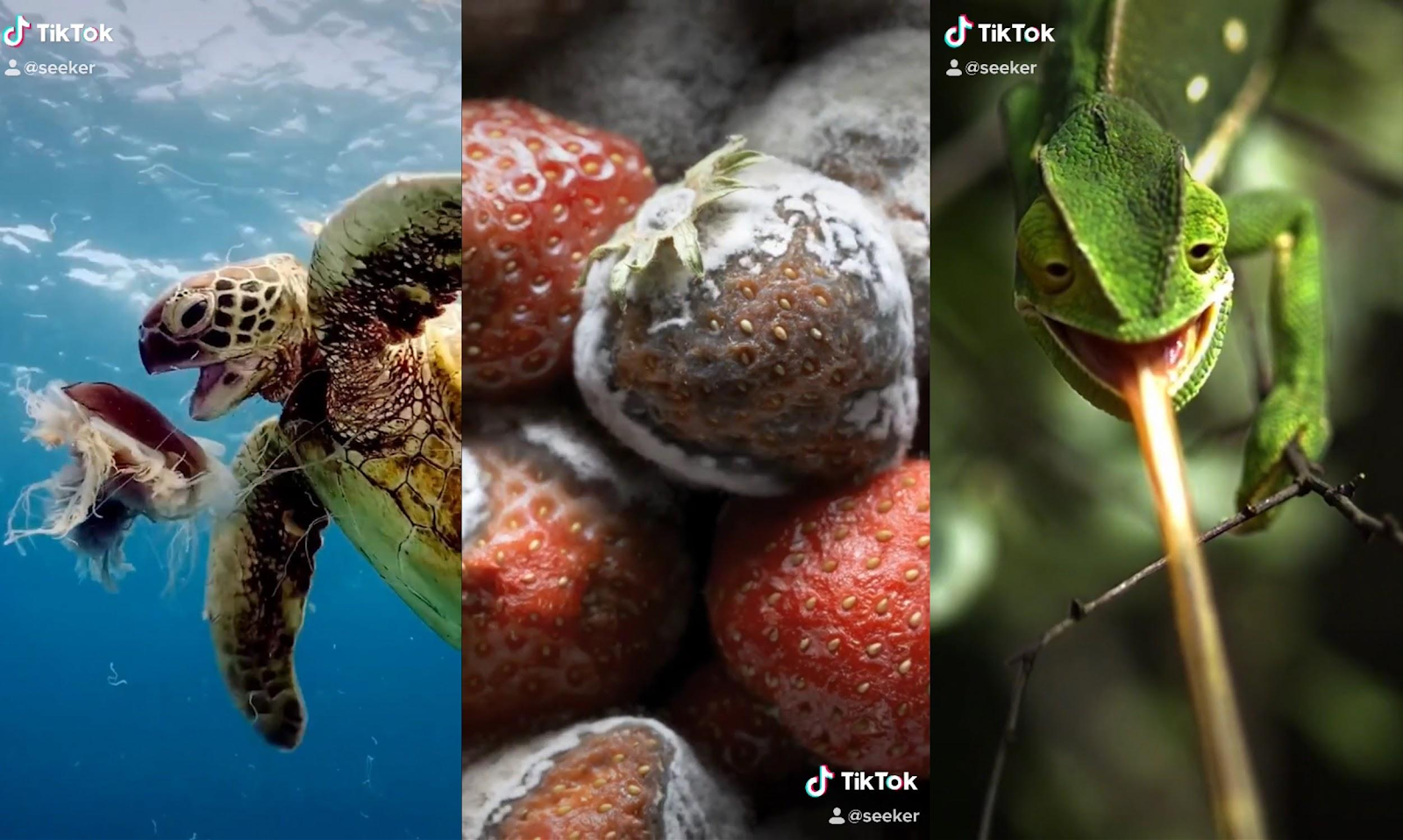 a screen grab from seeker featuring images of a turtle, lizard and strawberry on tiktok