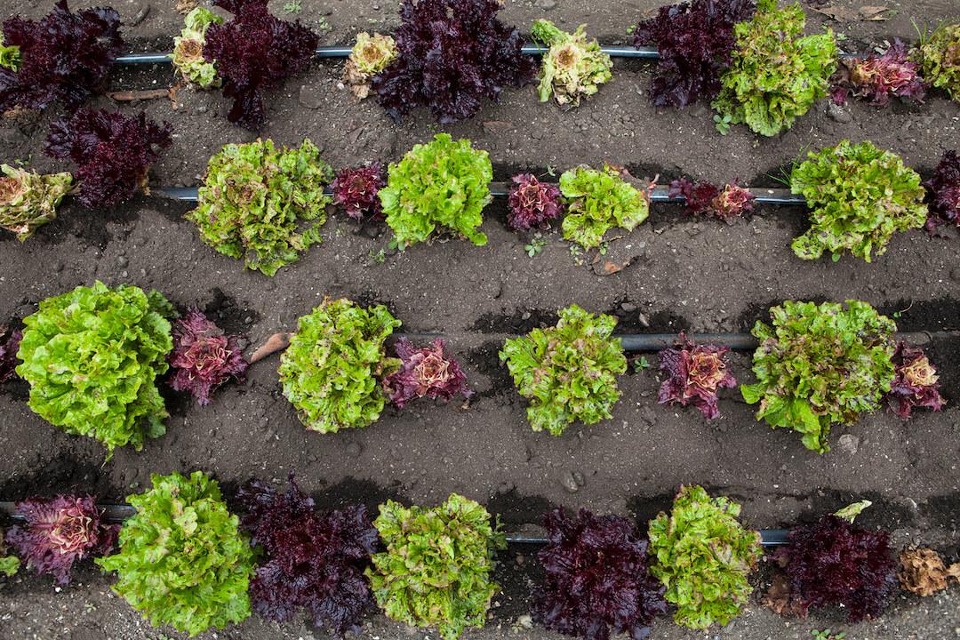 Esalen's Farm & Garden grows organic produce year-round.