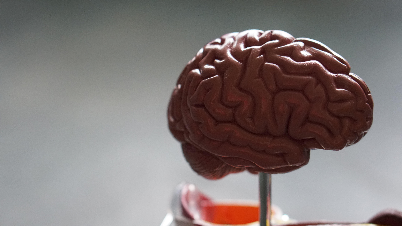 Foto von Gehirn-Modell
