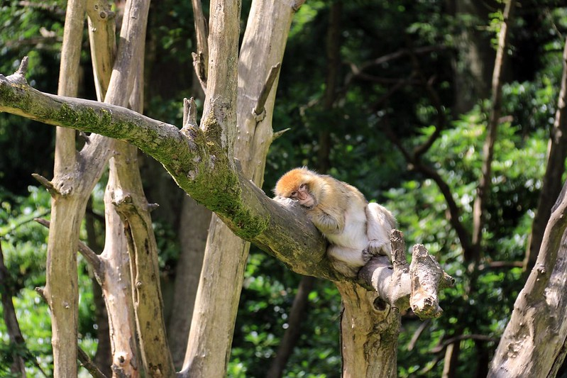 Monkey lounging on tree branch at Trentham Monkey Forest.