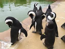 Penguins grooming at Amazon World Zoo Park.