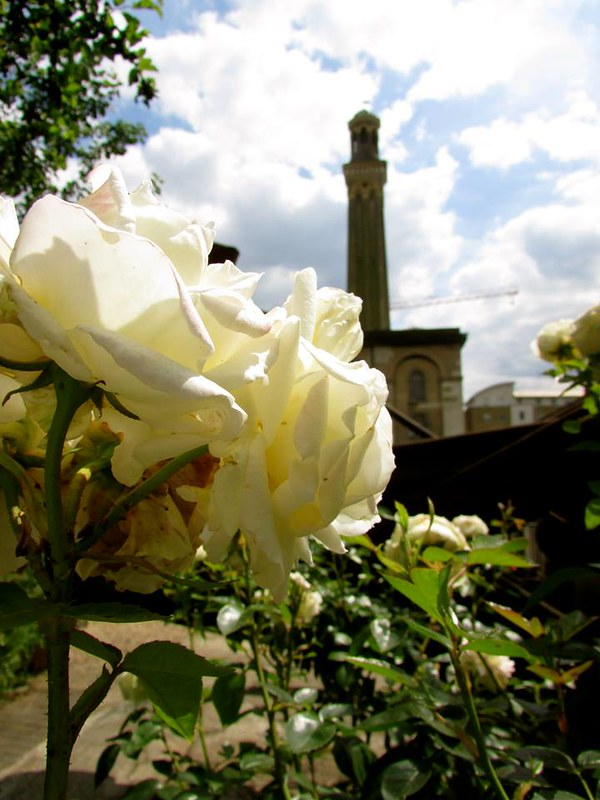 White rose in gardens of London Museum of Water & Steam.