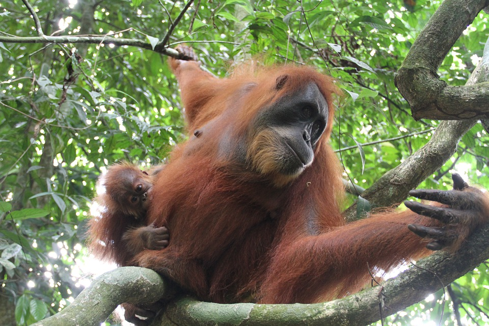 Find out more about Sumatran orangutan facts by reading ahead.