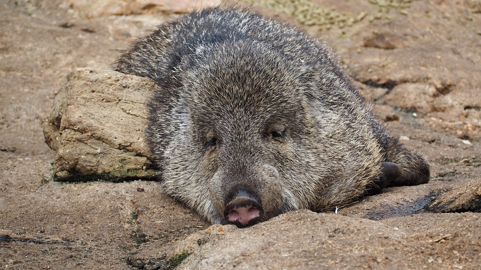 Peccary facts on different peccary species.