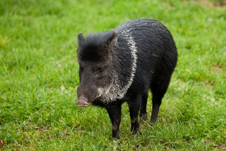 A peccary has a pig-like snout and live in the wild.