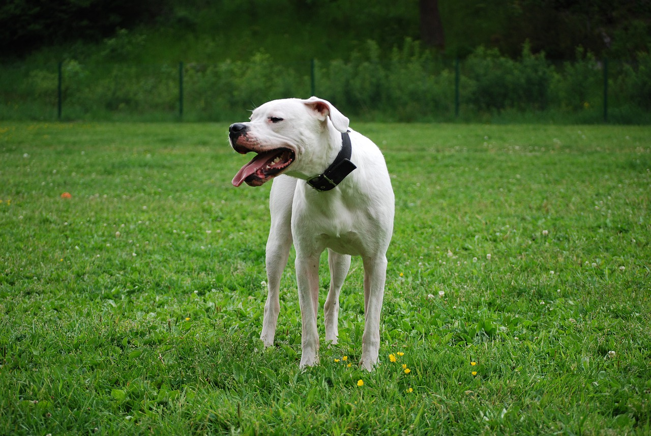 Dogo Argentino facts about the working dog breed are informative.