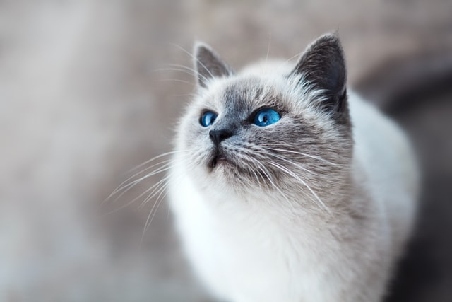 Balinese cat facts on the hypoallergenic cats.