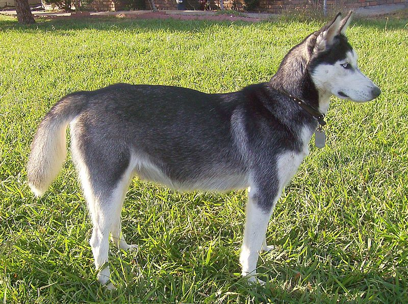 The Alaskan Husky is a mixed breed dog.