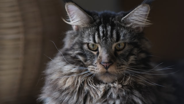 Maine coon cats have beautiful furry coats and look extremely elegant.