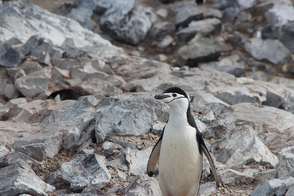 Find chinstrap penguin facts for kids here.