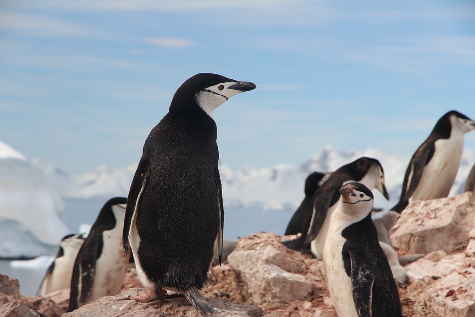 Find interesting chinstrap penguin habitat facts here.