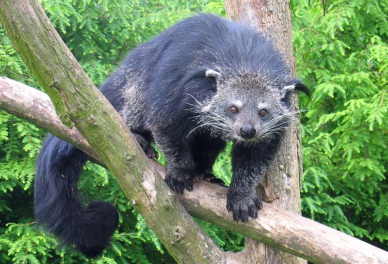 Binturong facts are very interesting.