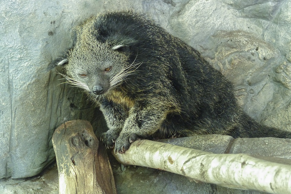 Binturong facts are very informative.