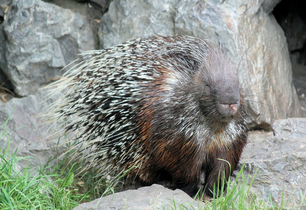 Porcupine facts for kids to enjoy