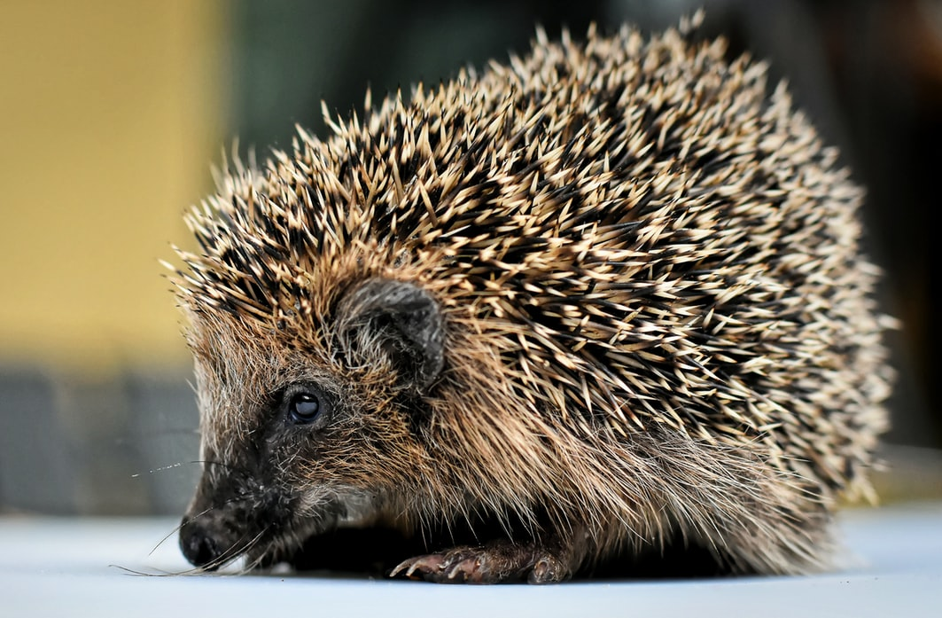Crested porcupine can be found across various regions in the United States