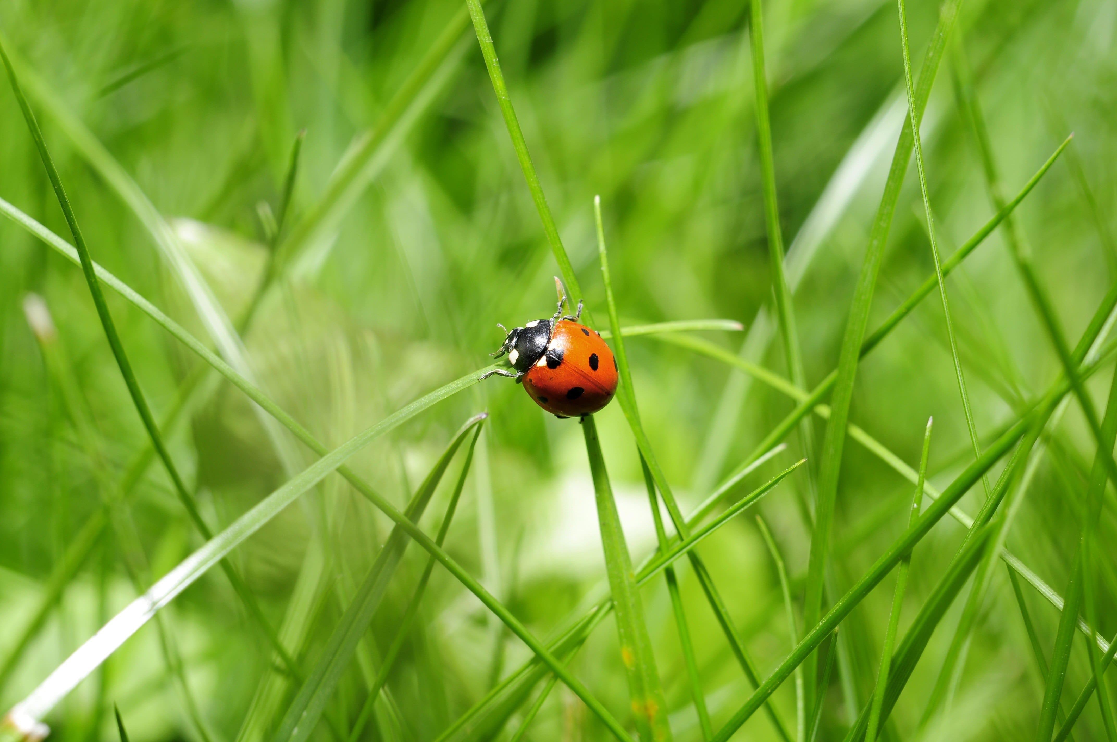 Lieveheersbeestje in het gras
