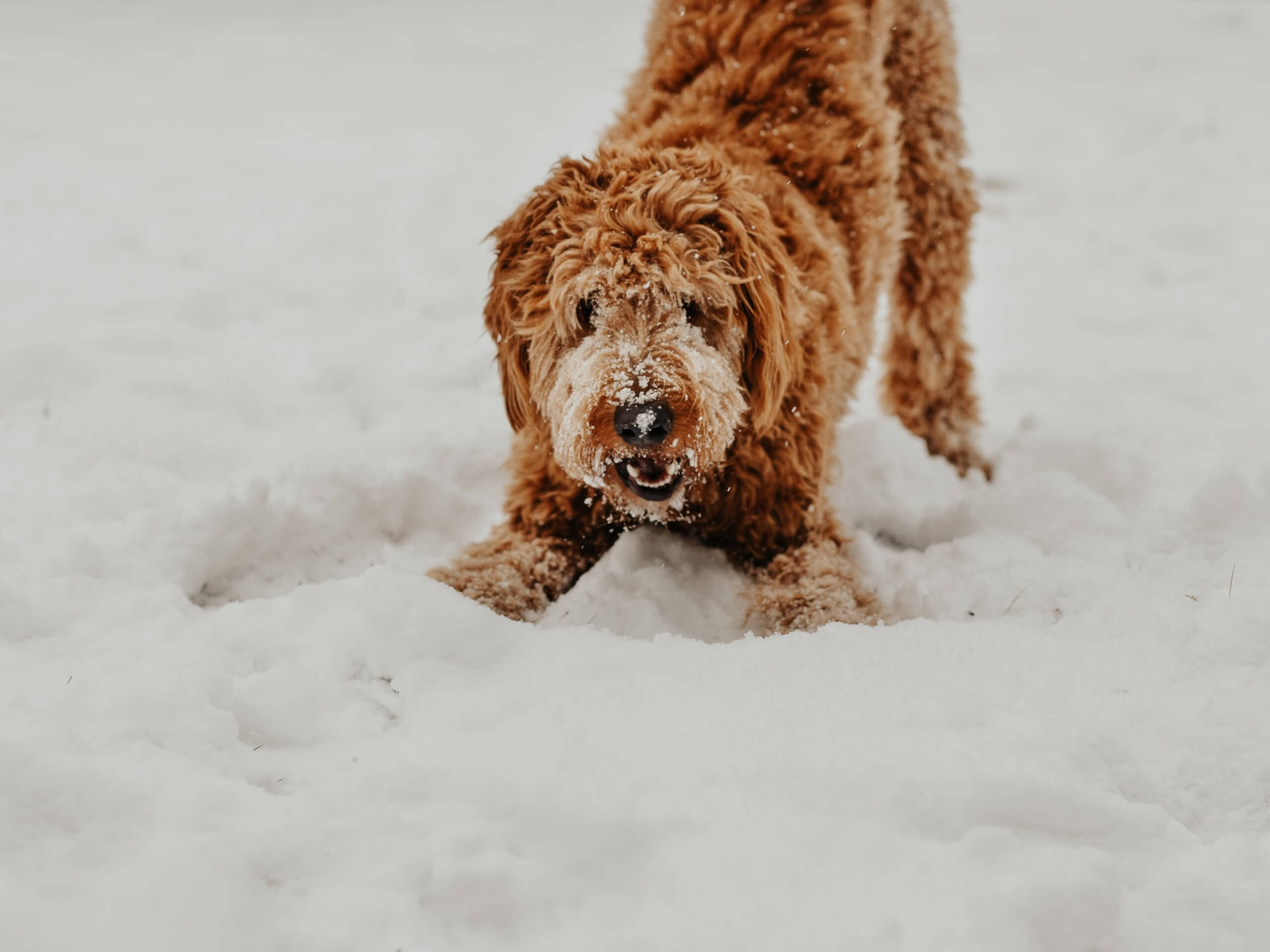 A brown doodle playing in the snow.